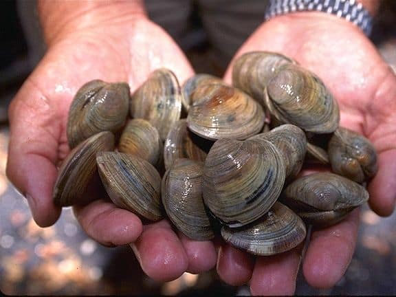 Clam digging on the Pacific Coast